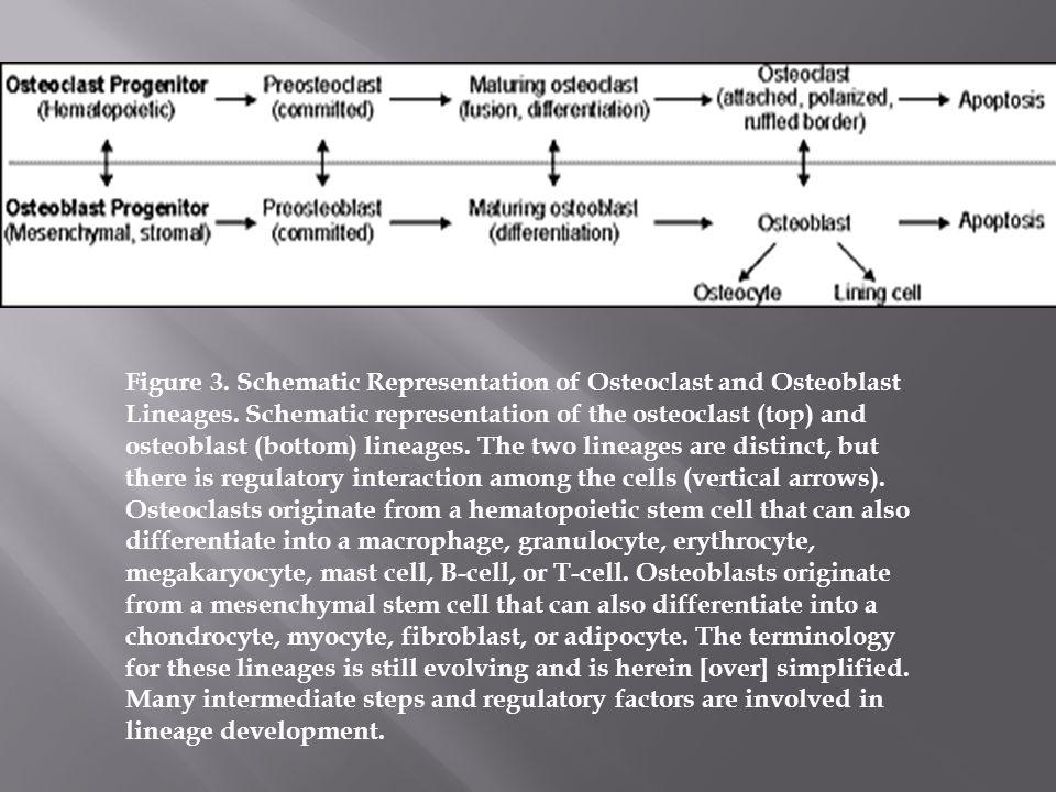 Figure 3. Schematic Representation of Osteoclast and Osteoblast Lineages. Schematic representation of the osteoclast (top) and osteoblast (bottom) lin
