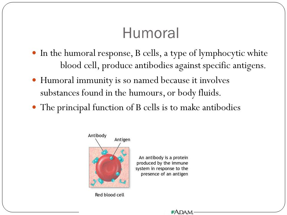 Humoral In the humoral response, B cells, a type of lymphocytic white blood cell, produce antibodies against specific antigens. Humoral immunity is so