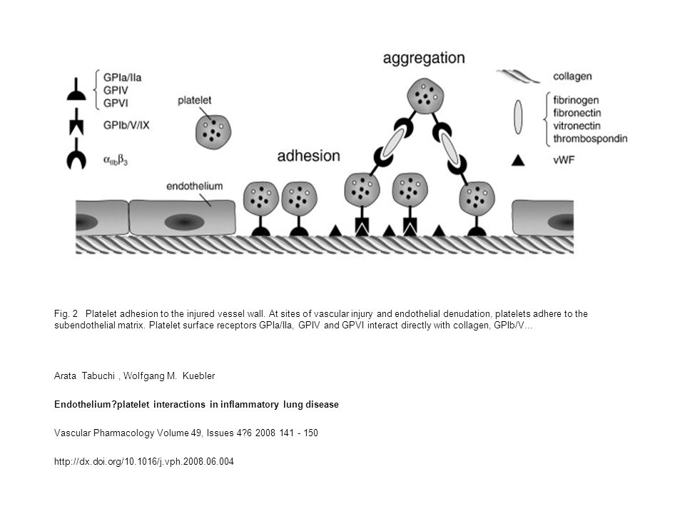 Fig. 2 Platelet adhesion to the injured vessel wall.