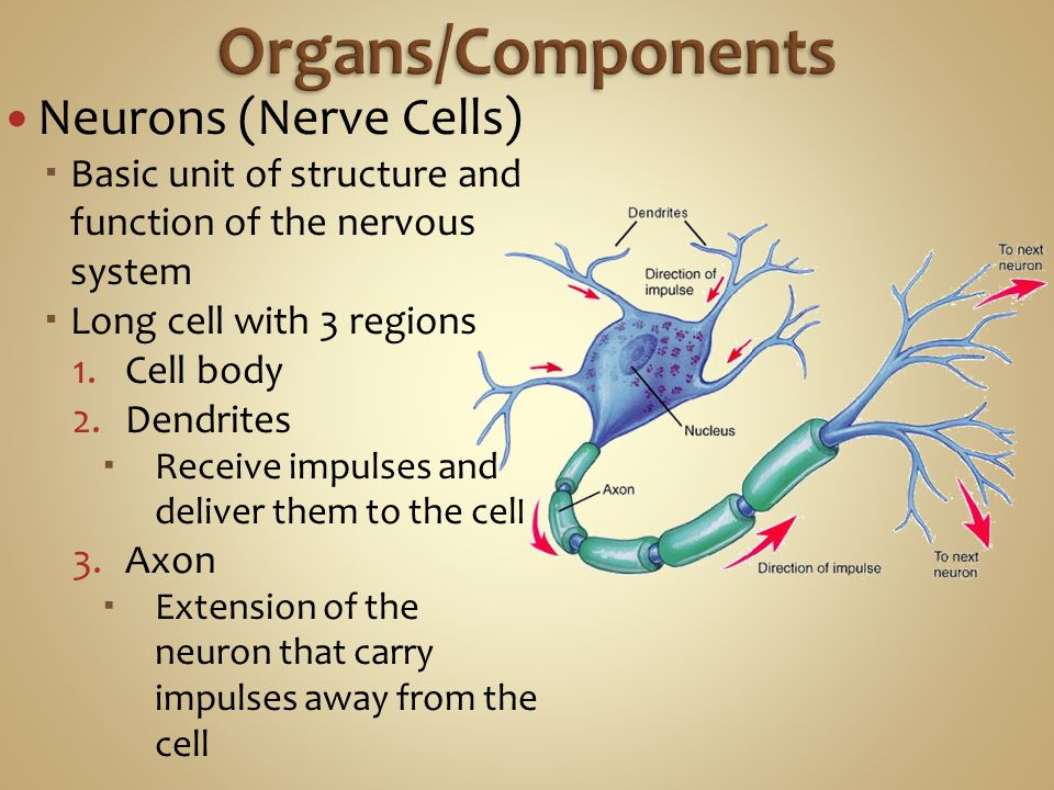 Neurons (Nerve Cells)  Basic unit of structure and function of the nervous system  Long cell with 3 regions 1.Cell body 2.Dendrites  Receive impulses and deliver them to the cel l 3.Axon  Extension of the neuron that carry impulses away from the cell