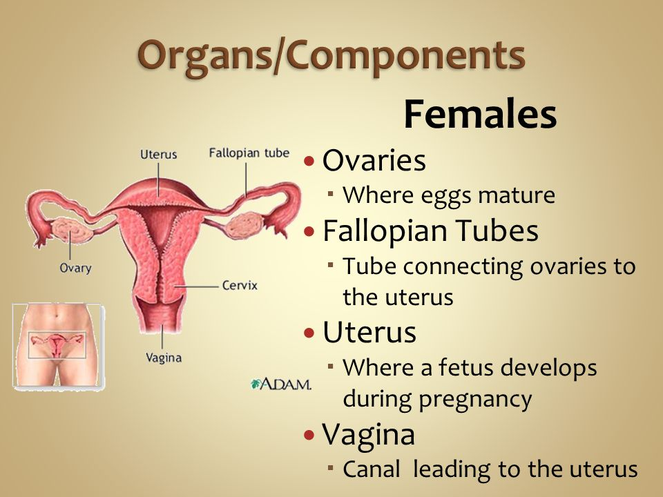 Females Ovaries  Where eggs mature Fallopian Tubes  Tube connecting ovaries to the uterus Uterus  Where a fetus develops during pregnancy Vagina  Canal leading to the uterus