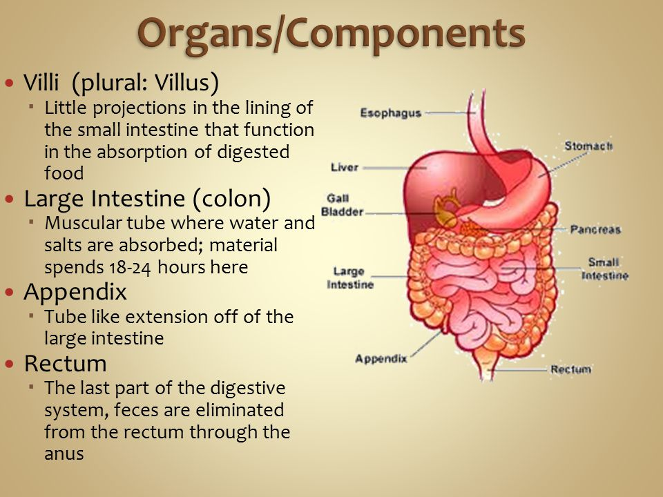Villi (plural: Villus)  Little projections in the lining of the small intestine that function in the absorption of digested food Large Intestine (colon)  Muscular tube where water and salts are absorbed; material spends 18-24 hours here Appendix  Tube like extension off of the large intestine Rectum  The last part of the digestive system, feces are eliminated from the rectum through the anus