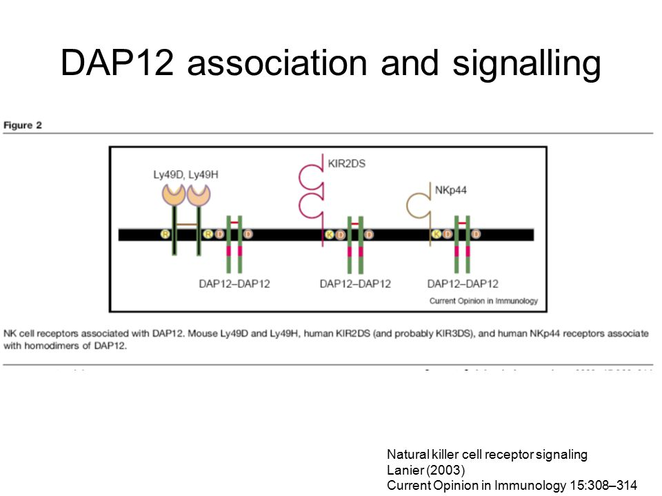 DAP12 association and signalling Natural killer cell receptor signaling Lanier (2003) Current Opinion in Immunology 15:308–314