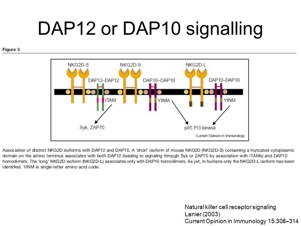 DAP12 or DAP10 signalling Natural killer cell receptor signaling Lanier (2003) Current Opinion in Immunology 15:308–314