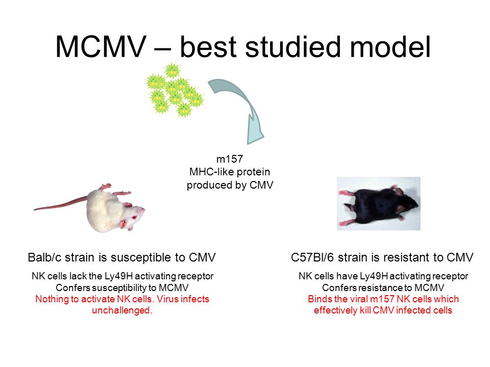 MCMV – best studied model m157 MHC-like protein produced by CMV C57Bl/6 strain is resistant to CMVBalb/c strain is susceptible to CMV NK cells lack th