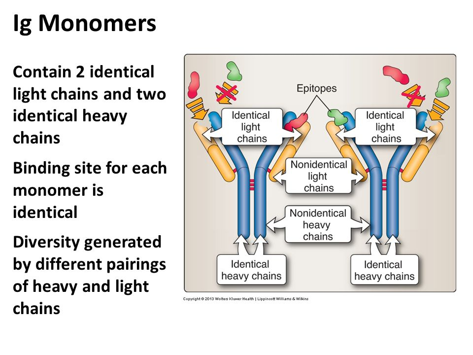 Ig Monomers Contain 2 identical light chains and two identical heavy chains Binding site for each monomer is identical Diversity generated by differen