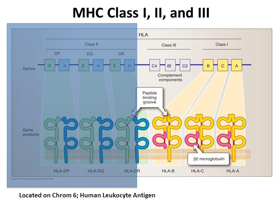 MHC Class I, II, and III Located on Chrom 6; Human Leukocyte Antigen