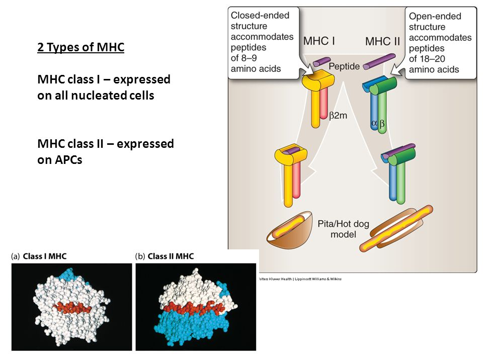 2 Types of MHC MHC class I – expressed on all nucleated cells MHC class II – expressed on APCs