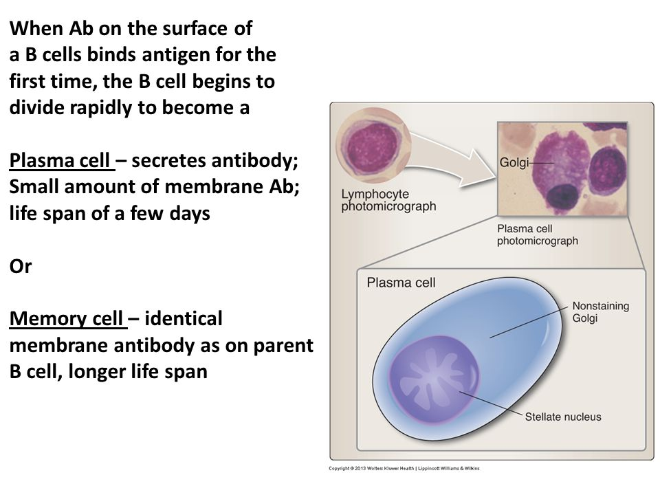 When Ab on the surface of a B cells binds antigen for the first time, the B cell begins to divide rapidly to become a Plasma cell – secretes antibody;