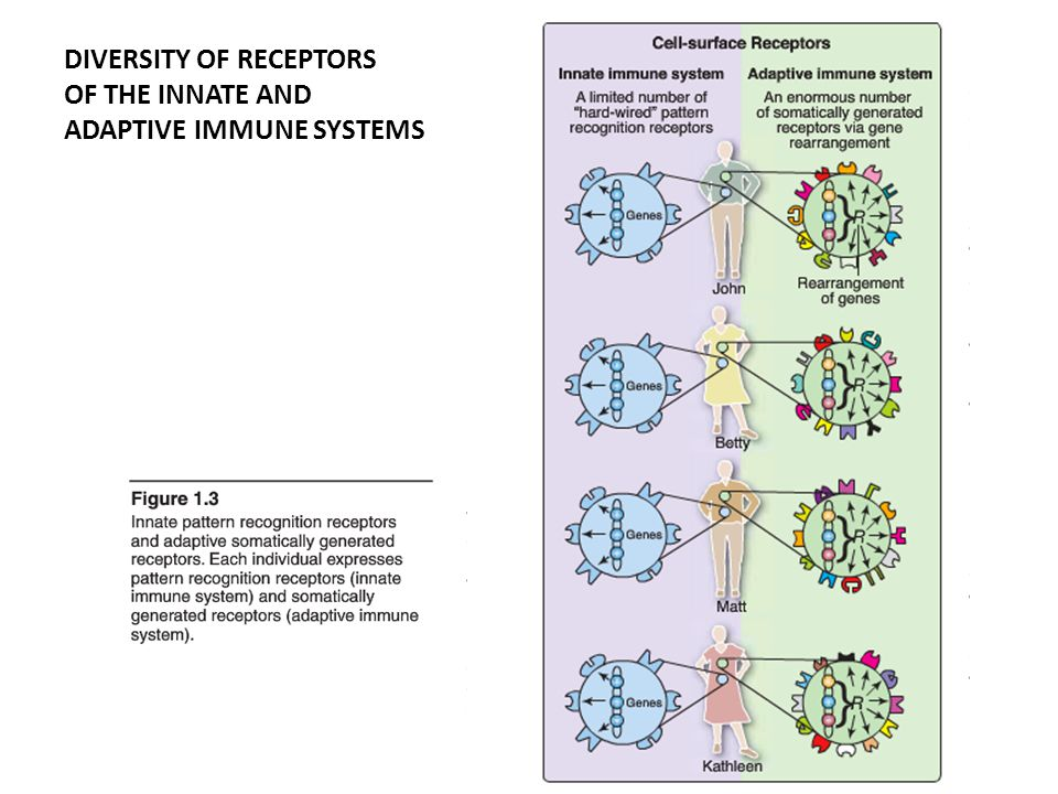 DIVERSITY OF RECEPTORS OF THE INNATE AND ADAPTIVE IMMUNE SYSTEMS