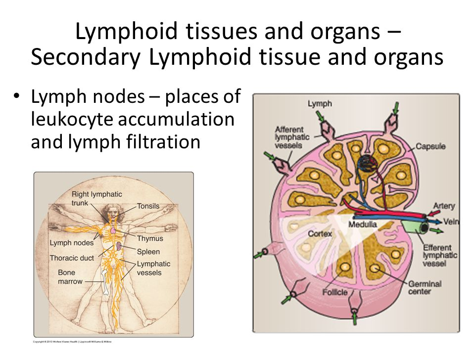 Lymph nodes – places of leukocyte accumulation and lymph filtration Lymphoid tissues and organs – Secondary Lymphoid tissue and organs