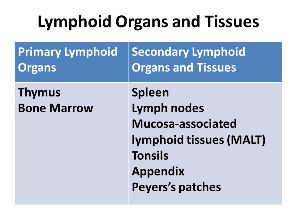 Lymphoid Organs and Tissues Primary Lymphoid Organs Secondary Lymphoid Organs and Tissues Thymus Bone Marrow Spleen Lymph nodes Mucosa-associated lymp