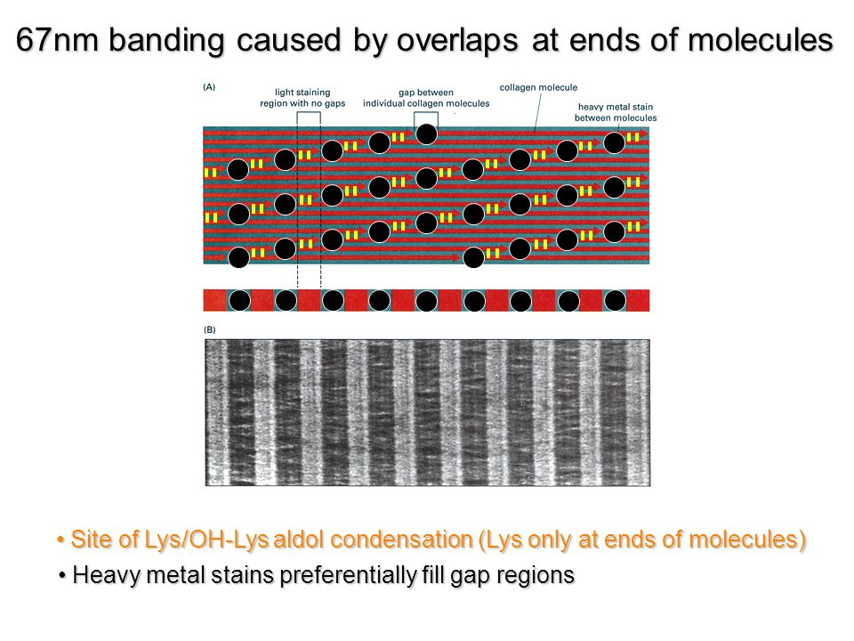Heavy metal stains preferentially fill gap regions Heavy metal stains preferentially fill gap regions 67nm banding caused by overlaps at ends of molecules Site of Lys/OH-Lys aldol condensation (Lys only at ends of molecules) Site of Lys/OH-Lys aldol condensation (Lys only at ends of molecules)