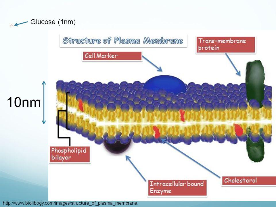 10nm A molecule http://www.biolibogy.com/images/structure_of_plasma_membrane. JPG Glucose (1nm)