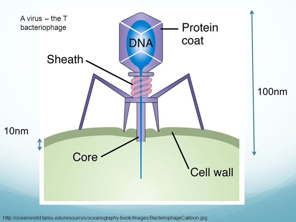 A virus – the T bacteriophage http://oceanworld.tamu.edu/resources/oceanography-book/Images/BacteriophageCartoon.jpg 10nm 100nm