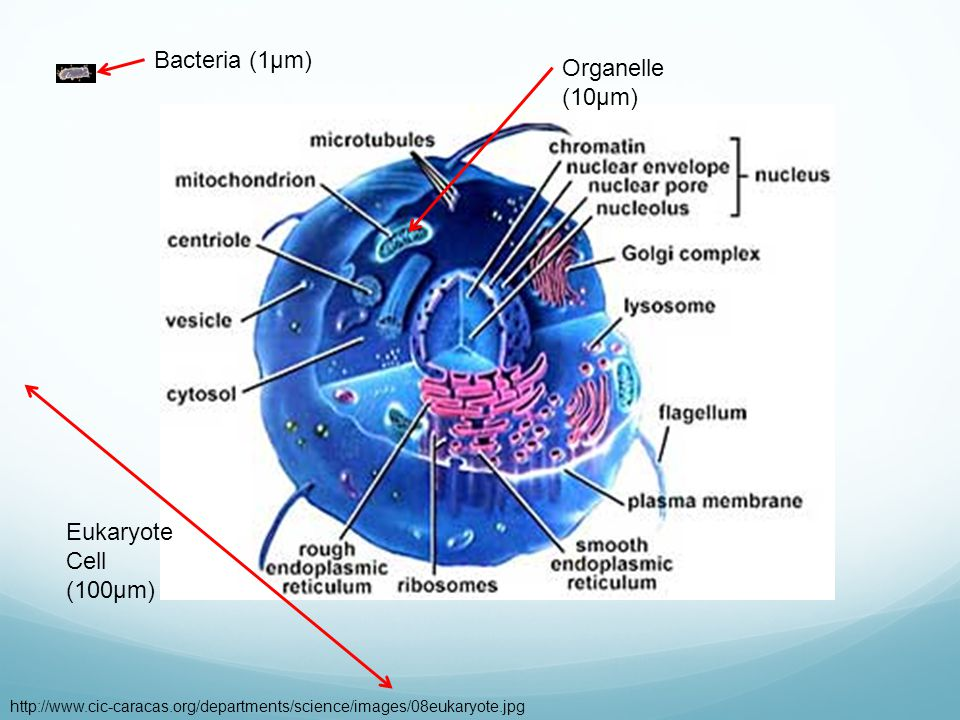 http://www.cic-caracas.org/departments/science/images/08eukaryote.jpg Bacteria (1µm) Organelle (10µm) Eukaryote Cell (100µm)