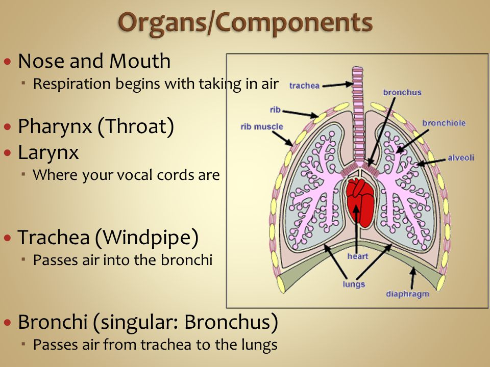 Nose and Mouth  Respiration begins with taking in air Pharynx (Throat) Larynx  Where your vocal cords are Trachea (Windpipe)  Passes air into the bronchi Bronchi (singular: Bronchus)  Passes air from trachea to the lungs