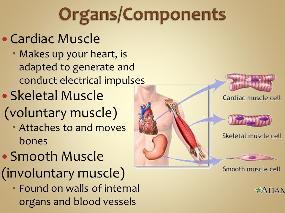 Cardiac Muscle  Makes up your heart, is adapted to generate and conduct electrical impulses Skeletal Muscle (voluntary muscle)  Attaches to and move
