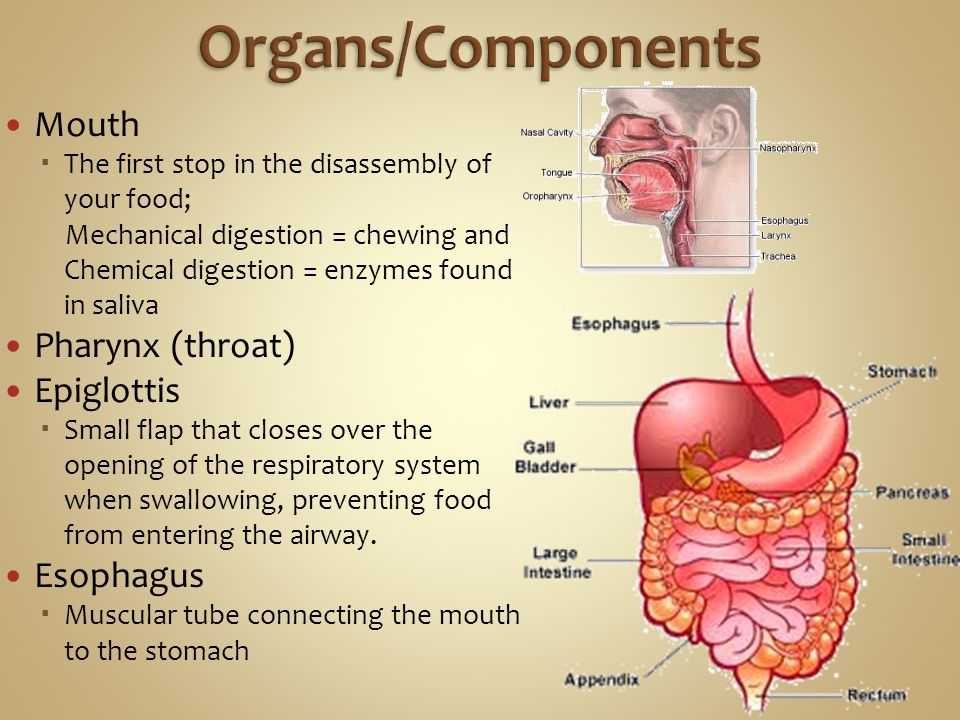 Mouth  The first stop in the disassembly of your food; Mechanical digestion = chewing and Chemical digestion = enzymes found in saliva Pharynx (throa