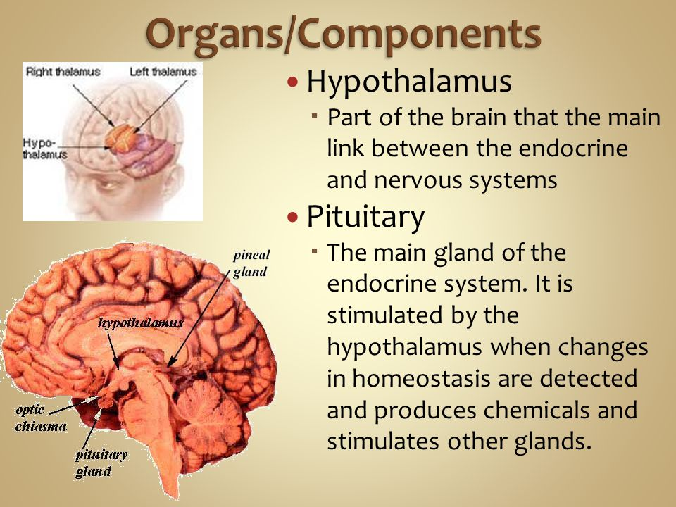 Hypothalamus  Part of the brain that the main link between the endocrine and nervous systems Pituitary  The main gland of the endocrine system.