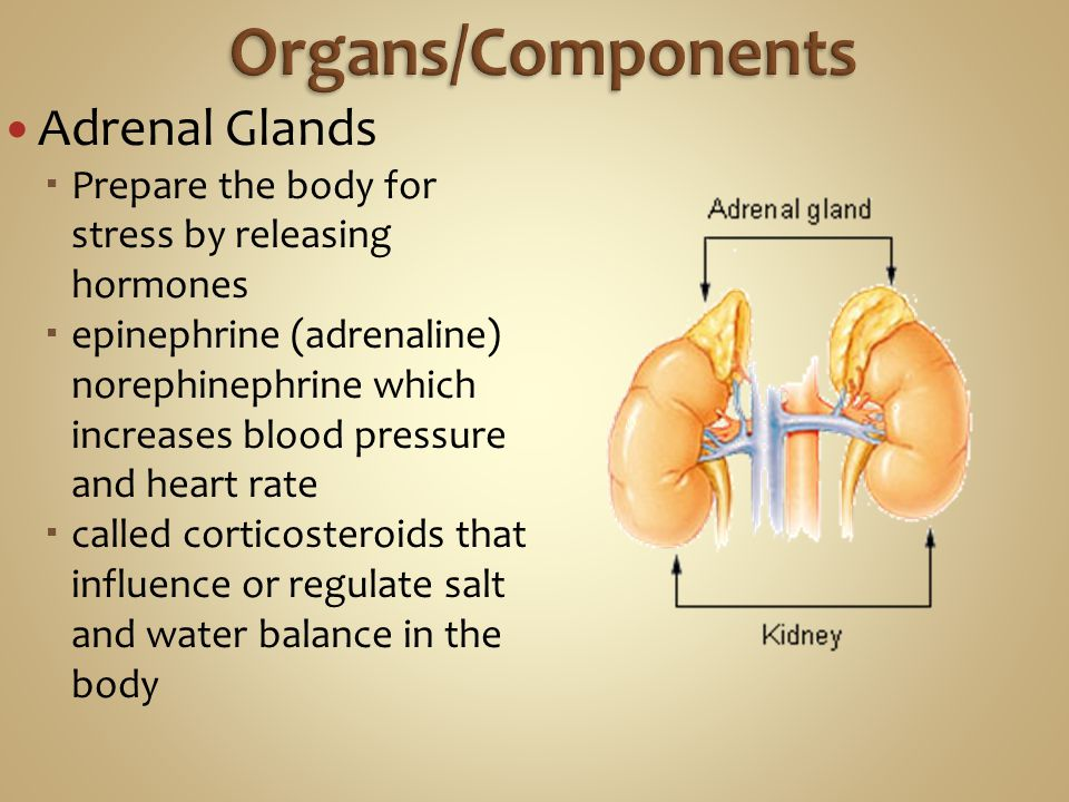 Adrenal Glands  Prepare the body for stress by releasing hormones  epinephrine (adrenaline) norephinephrine which increases blood pressure and heart