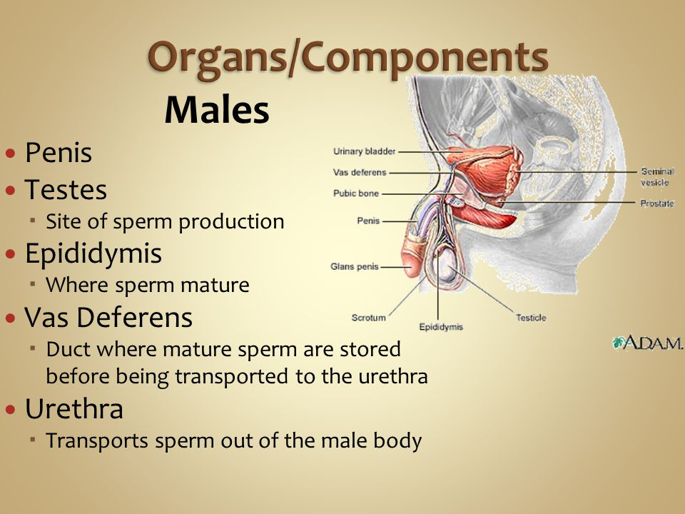 Males Penis Testes  Site of sperm production Epididymis  Where sperm mature Vas Deferens  Duct where mature sperm are stored before being transported to the urethra Urethra  Transports sperm out of the male body