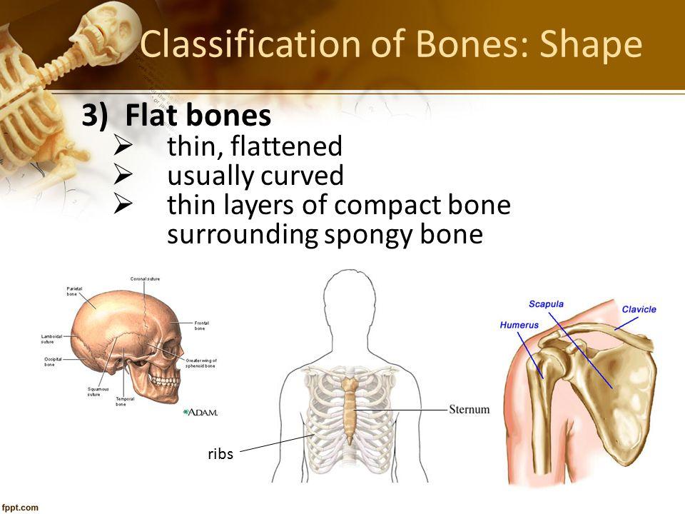 Classification of Bones: Shape 3) Flat bones  thin, flattened  usually curved  thin layers of compact bone surrounding spongy bone ribs
