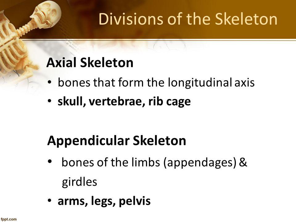 Divisions of the Skeleton Axial Skeleton bones that form the longitudinal axis skull, vertebrae, rib cage Appendicular Skeleton bones of the limbs (ap