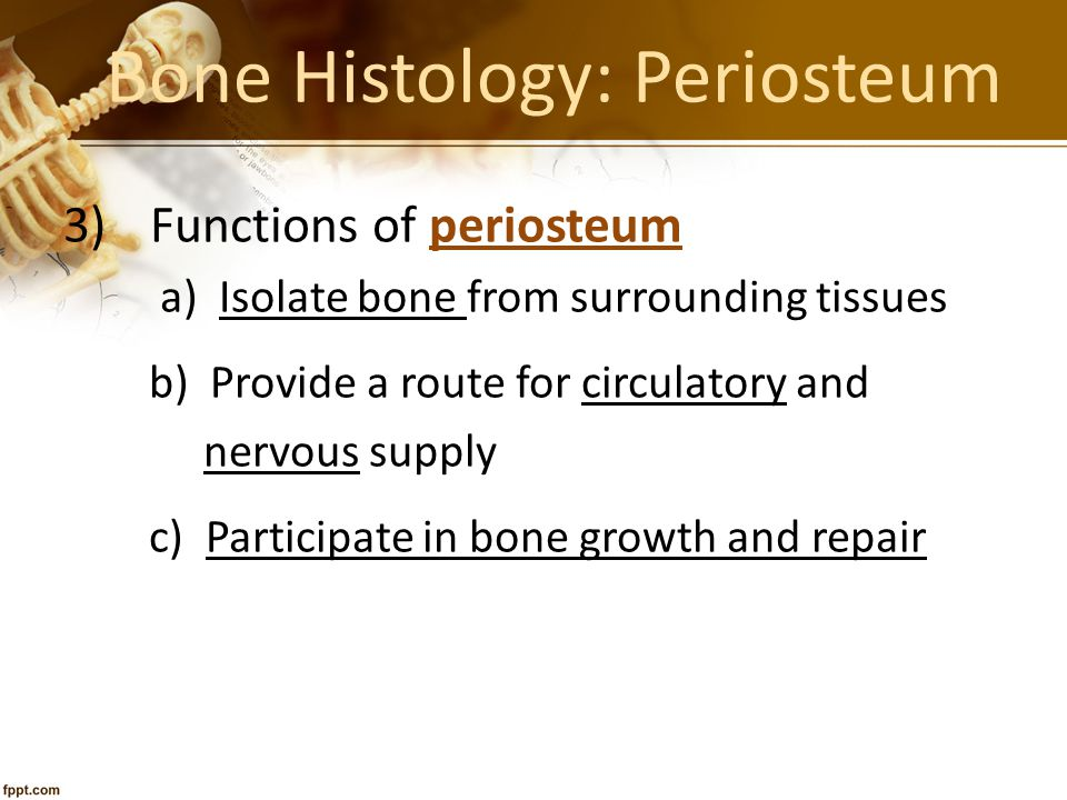 Bone Histology: Periosteum 3)Functions of periosteum a) Isolate bone from surrounding tissues b) Provide a route for circulatory and nervous supply c)