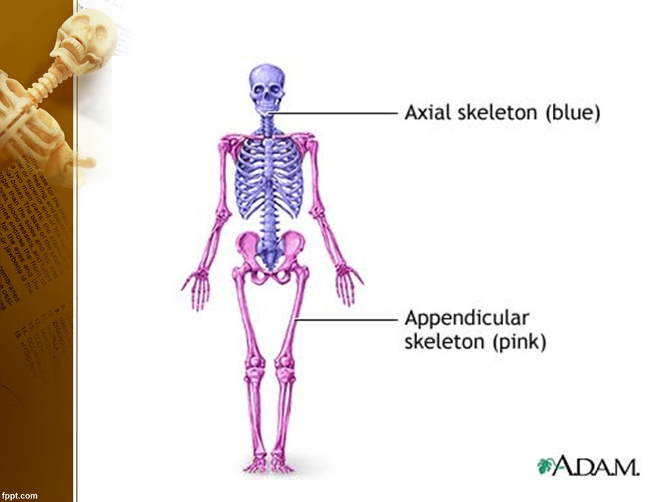 Bone Remodeling 1) Bones become thicker and form larger projections to increase strength for bulky muscles.