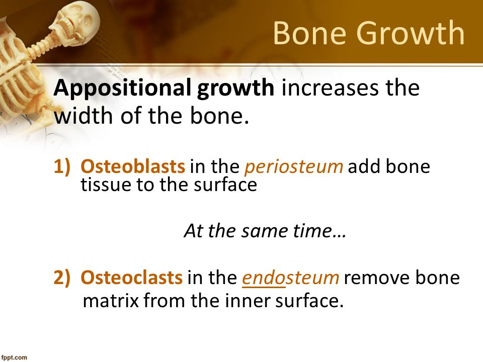 Appositional growth increases the width of the bone. 1)Osteoblasts in the periosteum add bone tissue to the surface At the same time… 2)Osteoclasts in