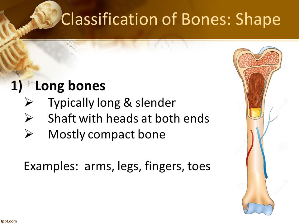 Bone Growth Epiphyseal plates allow for growth in the length of long bone during childhood & adolescence
