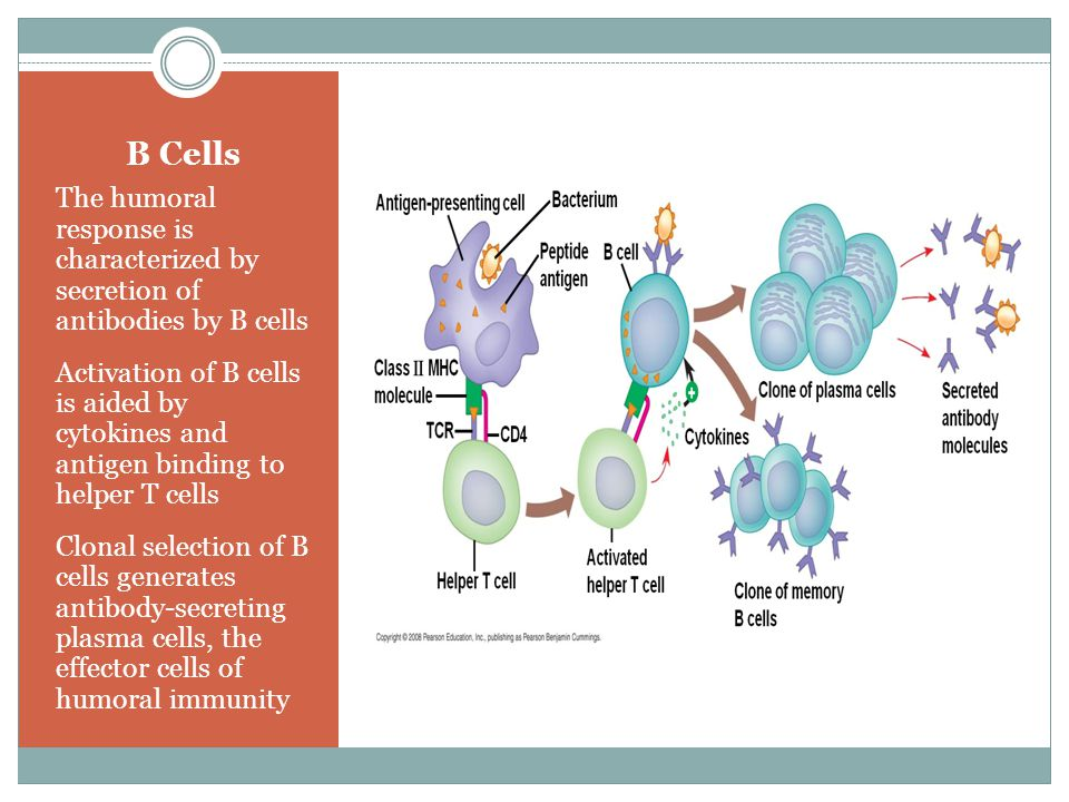 B Cells The humoral response is characterized by secretion of antibodies by B cells Activation of B cells is aided by cytokines and antigen binding to