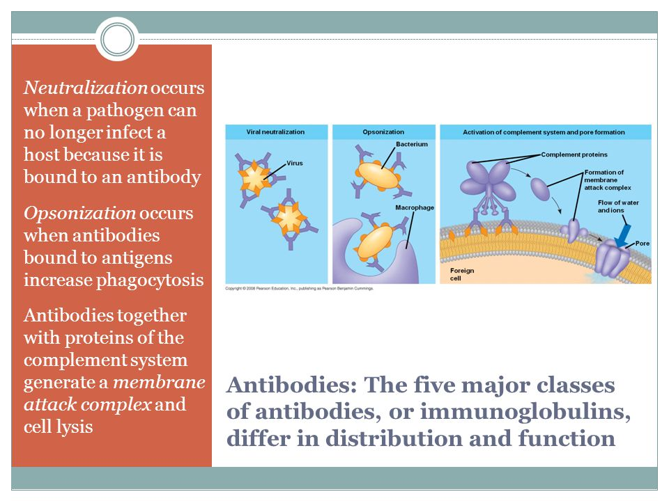 Antibodies: The five major classes of antibodies, or immunoglobulins, differ in distribution and function Neutralization occurs when a pathogen can no
