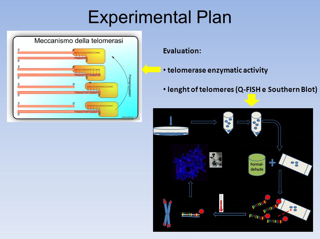 Experimental Plan Evaluation: telomerase enzymatic activity lenght of telomeres (Q-FISH e Southern Blot)
