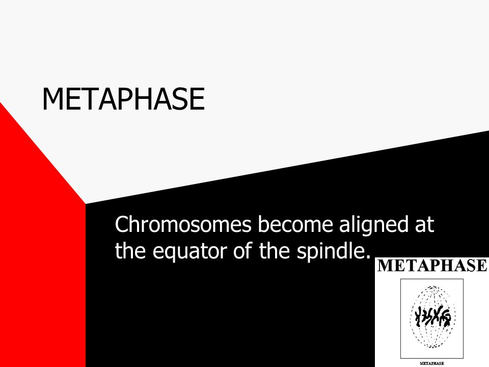 PROPHASE 1. Granular chromatin condenses into chromosomes. 2. Nuclear membrane disappears. 3. Nucleolus disappears. 4. Chromosomes continue to condens