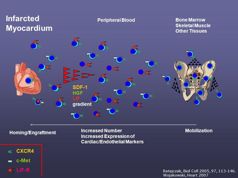 CXCR4 c-Met LIF-R SDF-1 HGF LIF gradient Peripheral Blood Bone Marrow Skeletal Muscle Other Tissues Infarcted Myocardium Increased Number Increased Ex