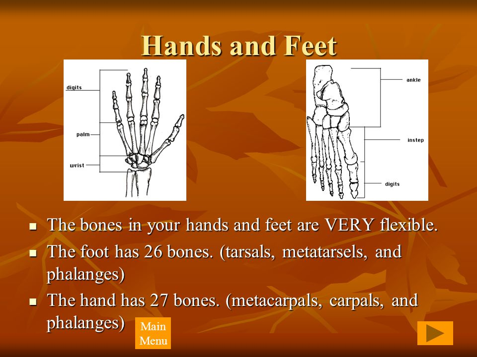 Hands and Feet The bones in your hands and feet are VERY flexible. The bones in your hands and feet are VERY flexible. The foot has 26 bones. (tarsals