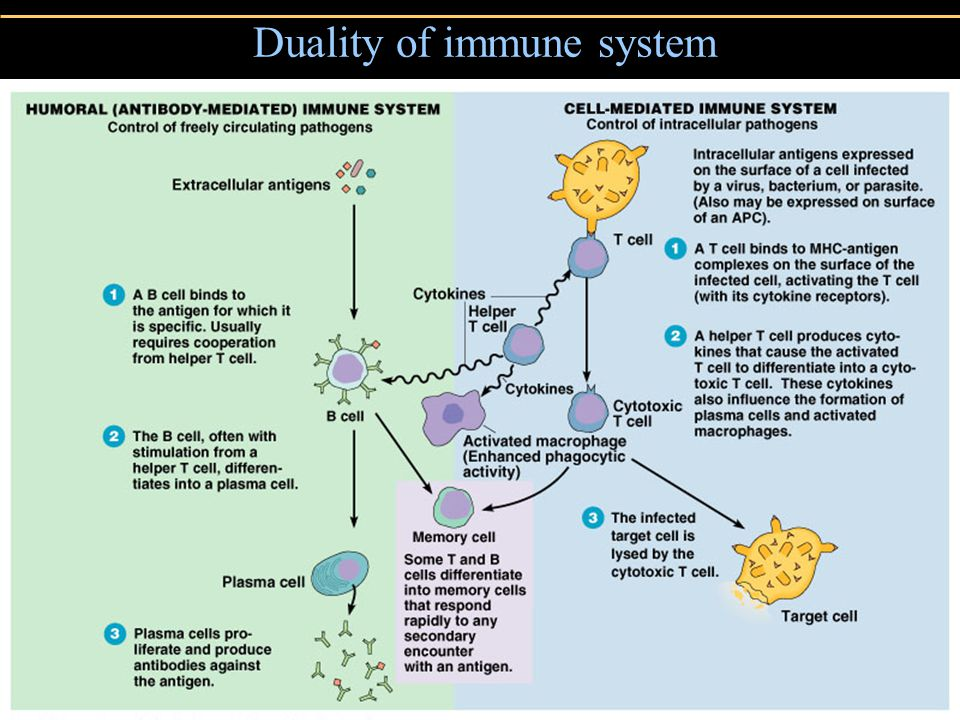 Copyright © 2004 Pearson Education, Inc., publishing as Benjamin Cummings Duality of immune system