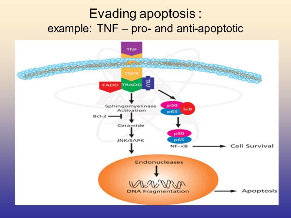 Evading apoptosis : example: TNF – pro- and anti-apoptotic