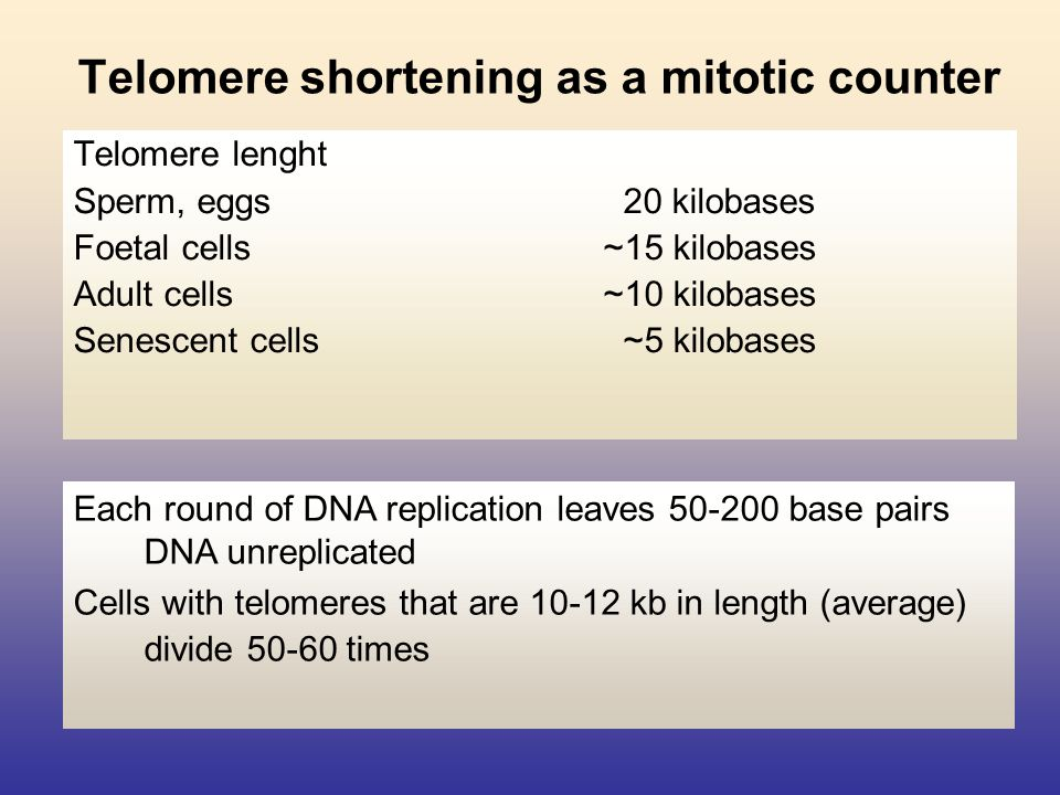 Telomere shortening as a mitotic counter Telomere lenght Sperm, eggs 20 kilobases Foetal cells~15 kilobases Adult cells~10 kilobases Senescent cells ~