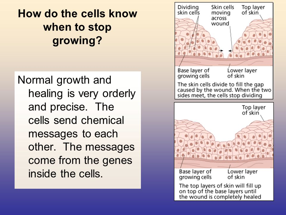 How do the cells know when to stop growing? Normal growth and healing is very orderly and precise. The cells send chemical messages to each other. The