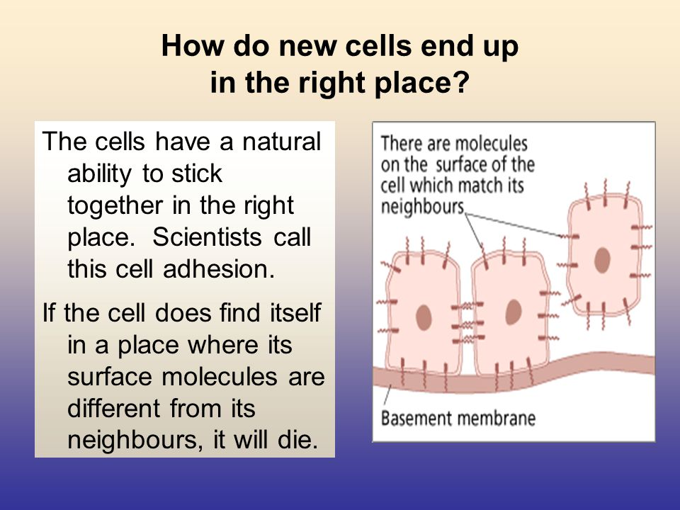How cells reproduce Cells double up very precisely so that the new cells are exactly the same as the old ones.
