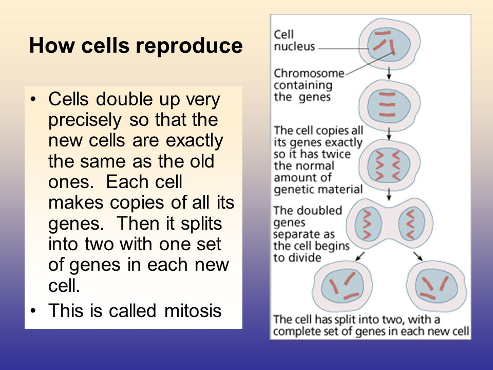 Can cells carry on doubling for ever.No they can t.