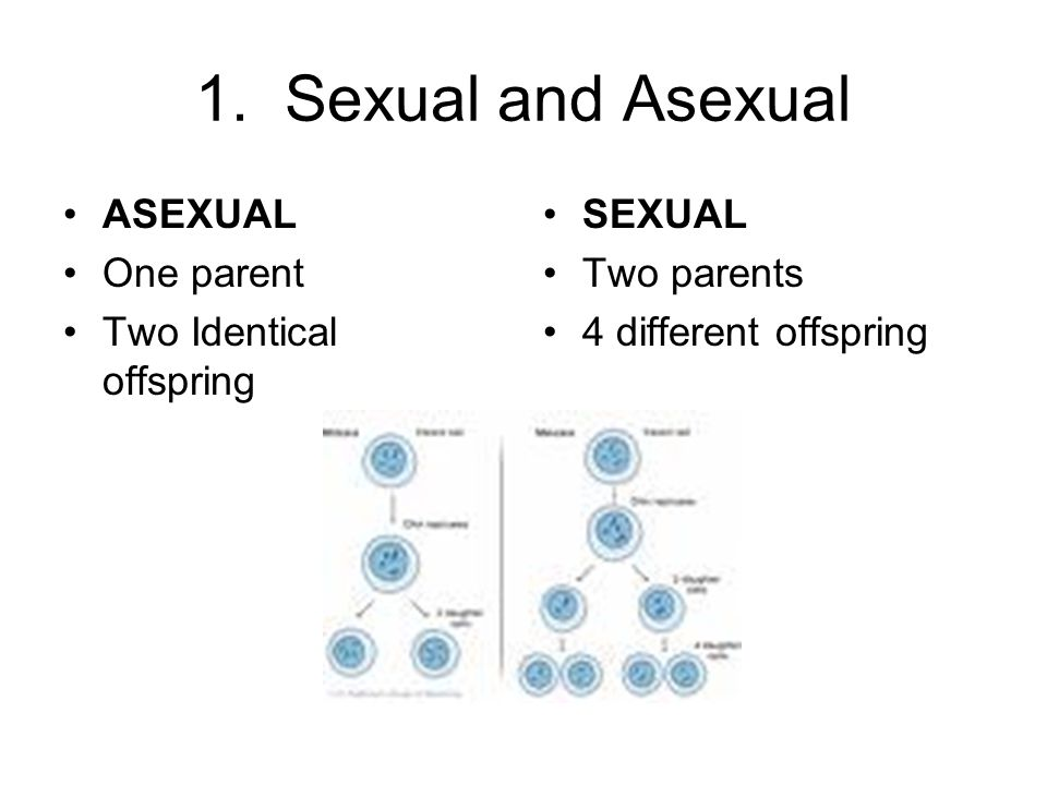 1. Sexual and Asexual ASEXUAL One parent Two Identical offspring SEXUAL Two parents 4 different offspring