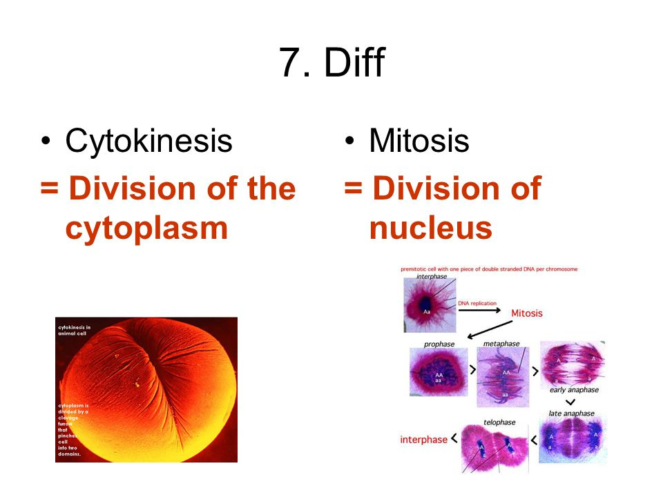 7. Diff Cytokinesis = Division of the cytoplasm Mitosis = Division of nucleus