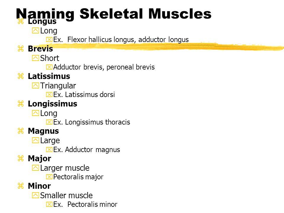 Anatomical names z Rectus yParallel to the midline xEx.