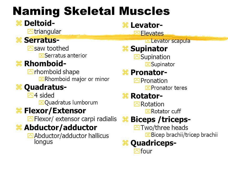 Naming Skeletal Muscles zLongus yLong xEx.
