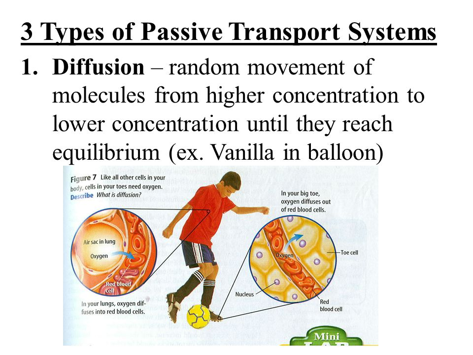 3 Types of Passive Transport Systems 1.Diffusion – random movement of molecules from higher concentration to lower concentration until they reach equilibrium (ex.