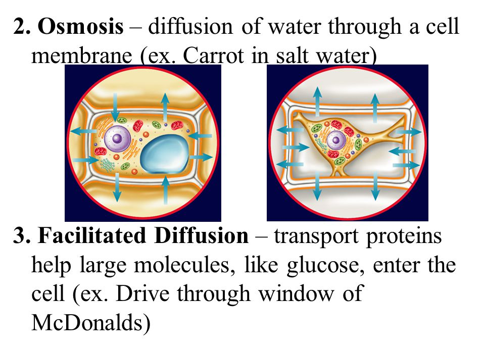 2. Osmosis – diffusion of water through a cell membrane (ex.